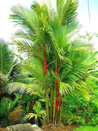 Palmeira Laca ou Renda - Mudas c/ 50 cm total