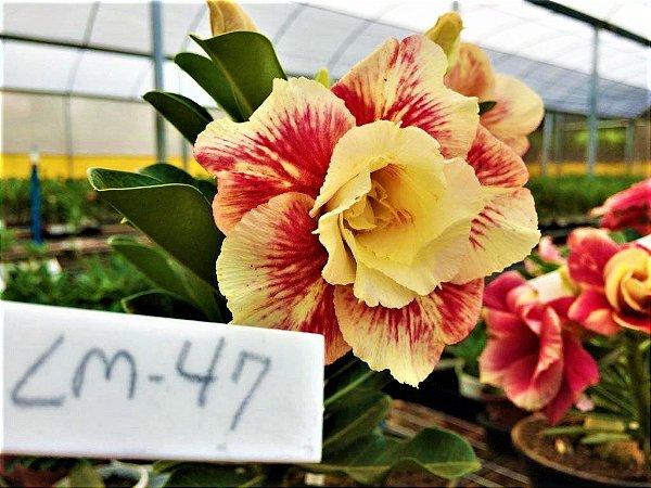 Rosa do Deserto Enxertada LM-47 - Mesclada Amarelo c/ Vermelho Flor Dupla