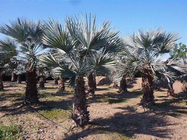 Palmeira Brahea nitida