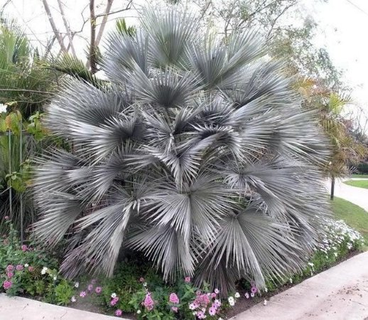 Palmeira Brahea sp. Super Silver