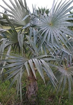 Palmeira Coccothrinax macroglossa