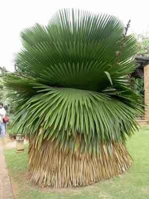 Palmeira Copernicia macroglossa