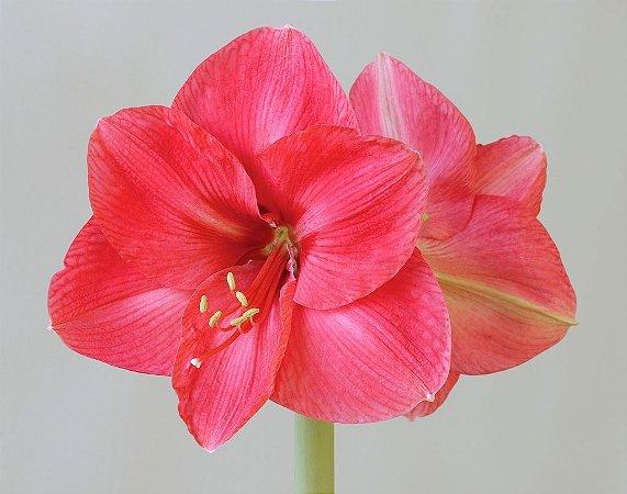 Amaryllis Bolero pink