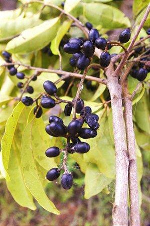 Tapirira Guianiense Ou Fruta-do-pombo Ou Pombeiro - Atrativa de Pássaros