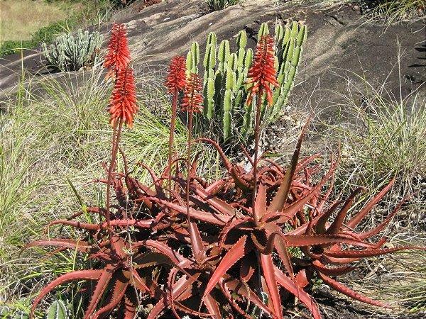 Aloe Vermelha