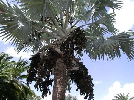 Sementes de Palmeira Azul  - Bismarckia Nobilis