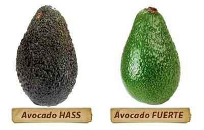 Avocado variedade Fuerte - Muda Enxertada
