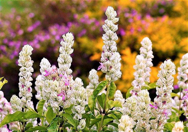 Camarão Branco ou Flor Camarão Branco