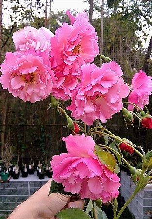 Rosa Trepadeira cor Rosa