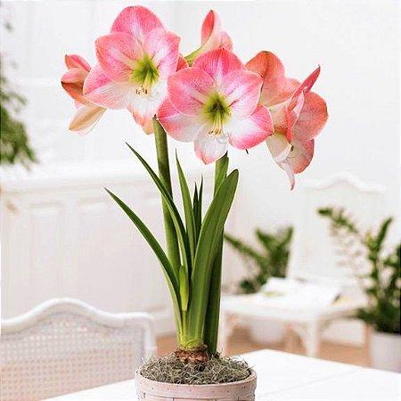 Amaryllis Apple Blossom - 1 Bulbo Amarilis