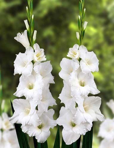 Gladíolo Branco White Goddes - c/ 6 Bulbos