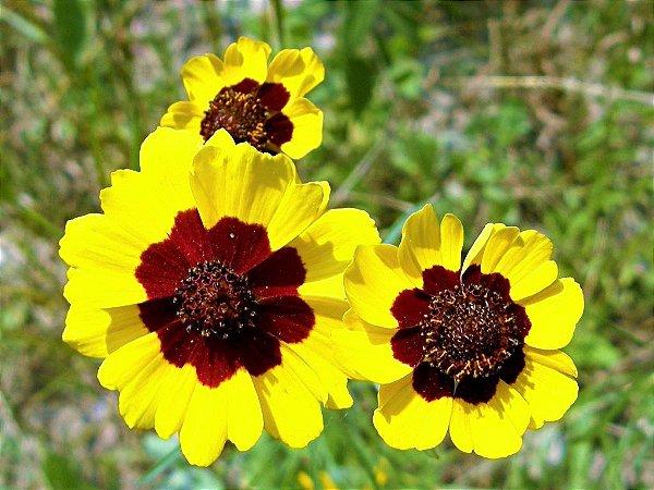Caliopsis Elegans Bicolor - kit c/ 20 Sementes