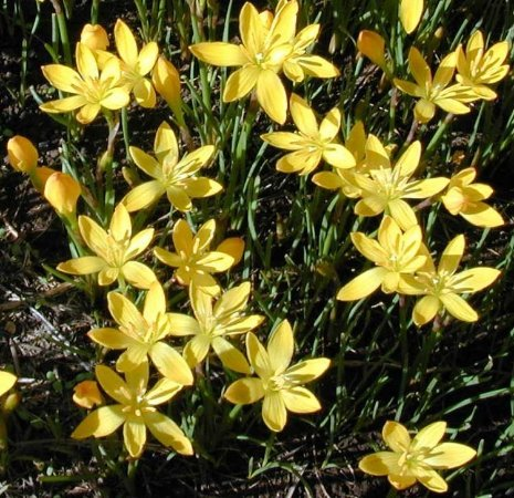 Zephyrantus Citrina - c/ 8 Bulbos