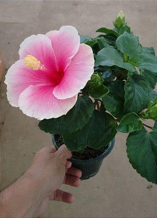 Hibisco Anão cor Rosa