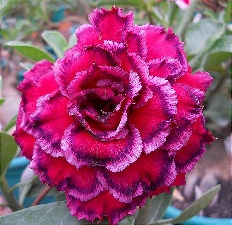 Rosa do Deserto Paradise flor Tripla Enxertada