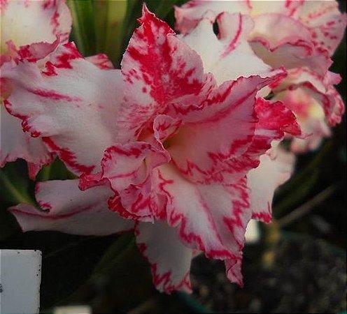 Rosa do Deserto Tullis flor dupla Enxertada