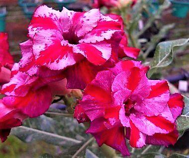 Rosa do Deserto cores Mescladas Rosa c/ Vermelho flor dupla Enxertada