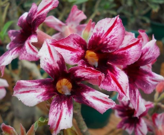 Rosa do Deserto mesclada centro Vinho Enxertada