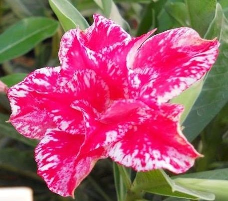 Rosa do Deserto Vermelho e Branco mesclada Beta flor dupla Enxertada