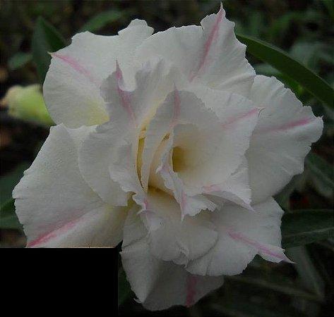 Rosa do Deserto branca friso rosa flor tripla Enxertada