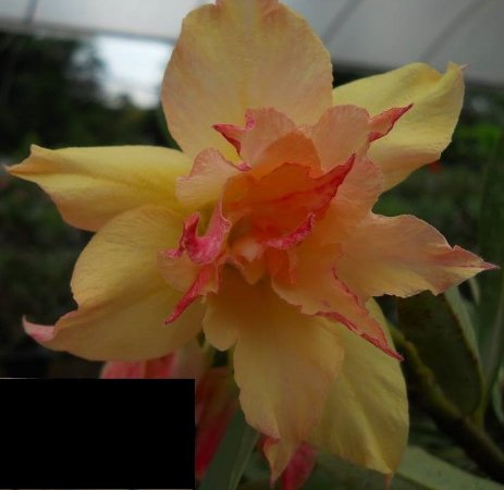 Rosa do Deserto RT1 flor dupla Enxertada