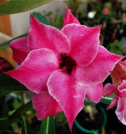 Rosa do Deserto Rosa Intenso flor dupla Enxertada