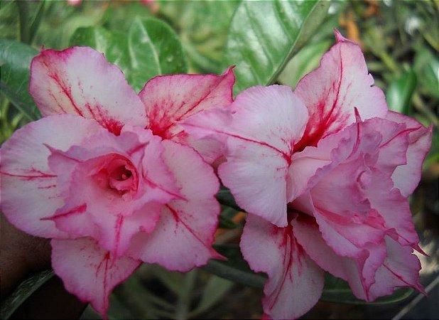 Rosa do Deserto L3 flor Dupla Enxertada