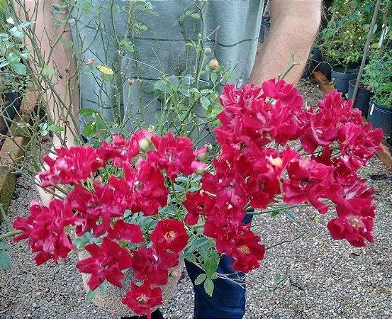 Rosa Sempre Flores Vermelho Intenso
