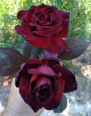 Rosa Príncipe Negro - Enxertada