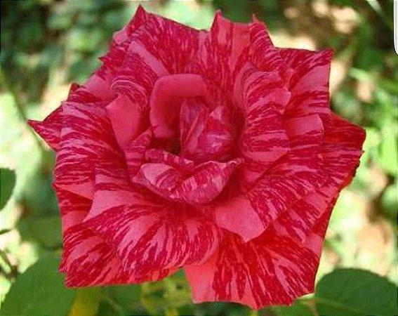 Rosa Red Intuition com Pétalas de cores Mescladas Rosa e Vermelho