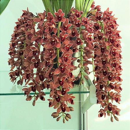 Orquídea Cymbidium Dorothy Stockstill  - Muda