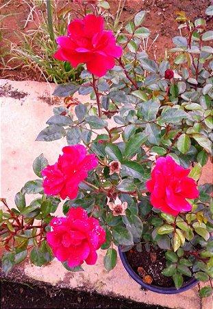 Rosa Arbustiva Donzela - Flor Rosa Pink