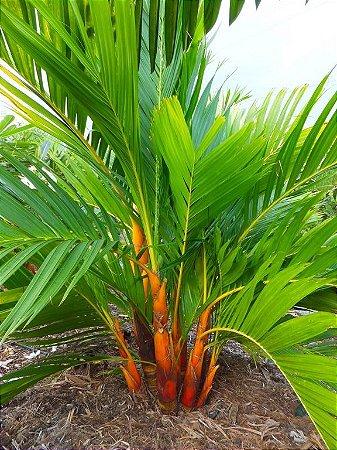 Palmeira Areca Dourada - Muda