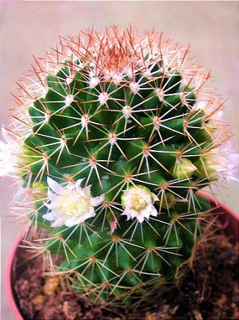 Cacto Mammillaria Backebergiana