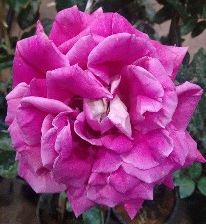 Rosa Gigante Peace Hibrida Sr. Naga cor Rosa Metálica