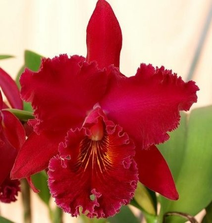 "Orquídea Cattleya Chia Lin "" New City"""