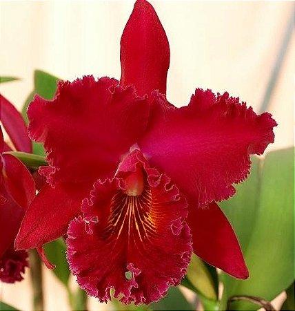 Orquídea Cattleya Chia Lin New City