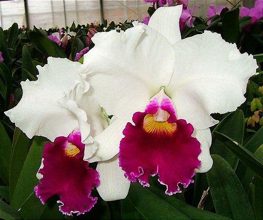 "Orquídea Cattleya Lc. Melody Fair ""Carol"""