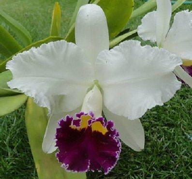 Orquídea Cattleya L.C. Sheila Lauterbach Equilab