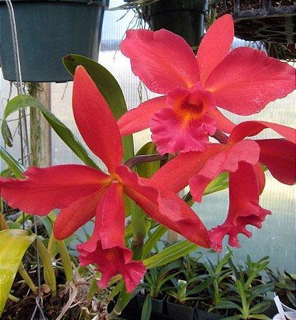 Orquídea Potinara Lakeland Brytt