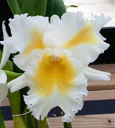 Orquídea Cattleya Esbetts Clown Blumen Insel