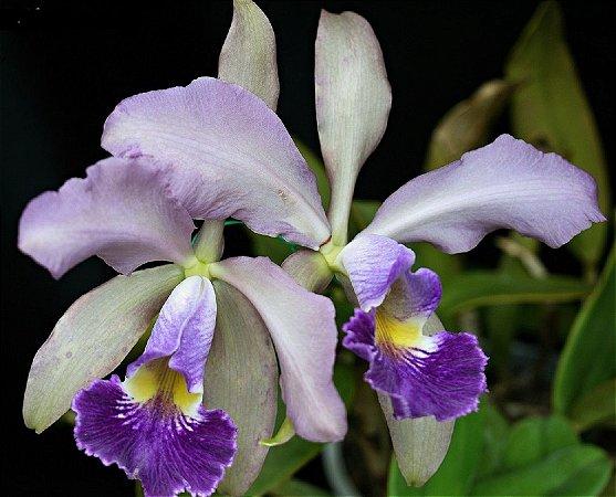 Orquídea Cattleya Whitei Coeruela