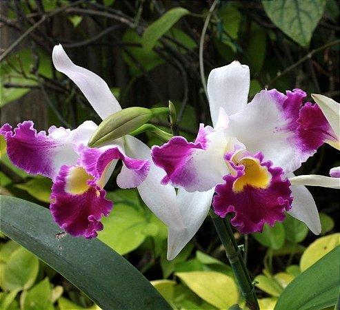 Orquídea Cattleya Memory Dr. Peng Deep