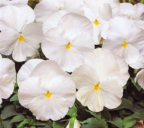 Amor-Perfeito Gigante Suíço Branco - Kit c/ 20 sementes