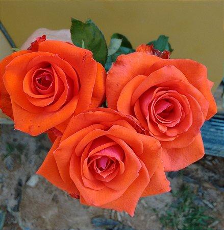 Rosa Cor de Telha - Enxertada