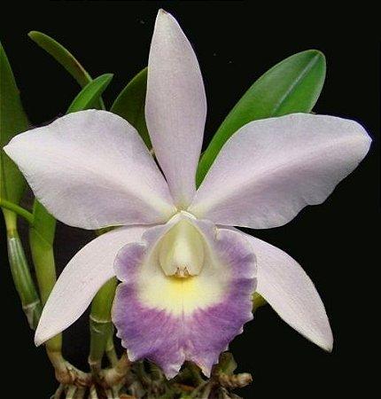 Orquídea Cattleya LC Nobile's Blue Sky Coerulea