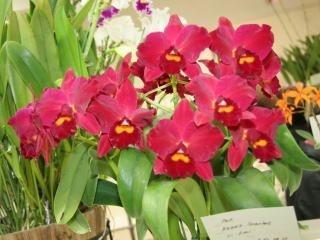 Orquídea Cattleya Kozo's Scarlet 'VI-EMI'