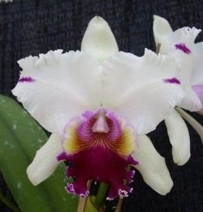 Orquídea Cattleya LC Red Empress of Mercury x LC Shellie Compton Touch of Class