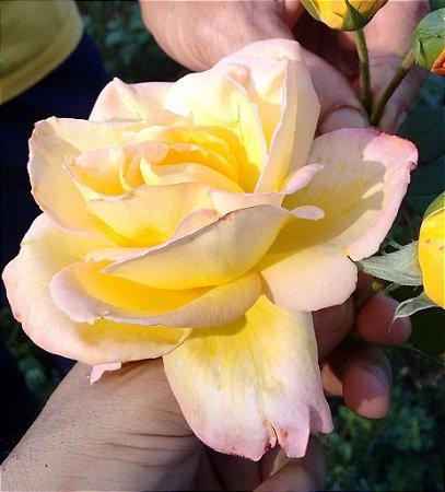Rosa Amarela mesclada c/ Rosa - Enxertada