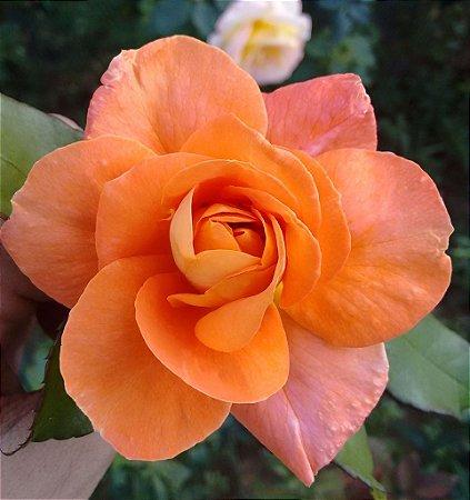 Rosa Laranja Apricot Enxertada
